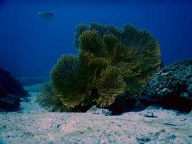 divecambodia-coral